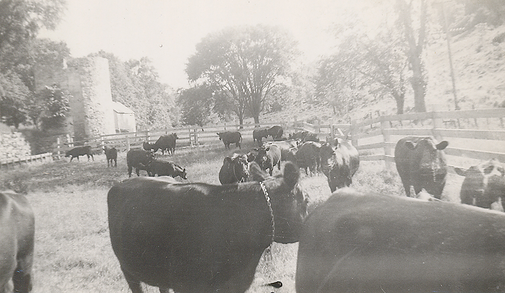 Peggy's cows