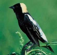 Bobolink bird; Hildene is proud to be a Bobolink Sanctuary!