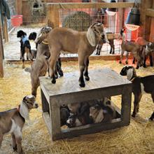 Goat Care 101: goat kids rule!