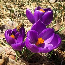 Crocus and Honeybee to celebrate pollinators on Earth Day